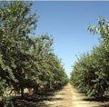 Hopkins AG Almond Farm