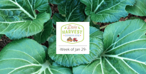 What's coming this week and a brief history of Bok choy…