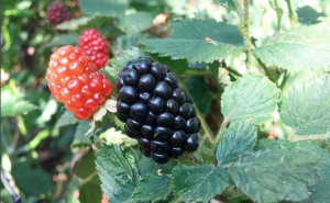 5 Amazing Health Benefits of Blackberries